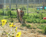 wildcat-sanctuary-tiger