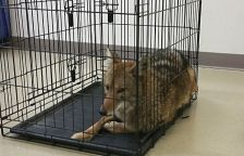 This coyote, nicknamed Cody, was captured by Richfield police on Oct. 25, 2015. The animal had been spotted around town several times in the past few weeks. Cody has an injured leg and was taken to a rehabilitation center for treatment.