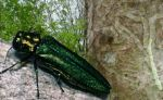 emerald ash borer collage