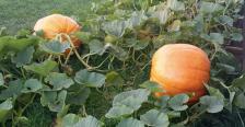 Giant pumpkins stolen
