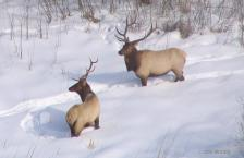 060715.O.GFH_.MNELK-Grygla bulls 2006