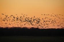 Flickr_sandhill-crane