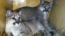 Two orphaned cougar kittens were brought from Washington state to the Wildcat Sanctuary in Sandstone, Minnesota on Dec. 5.