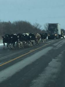 law-abiding cows