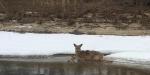 deer rescue stranded deer crop 02-11-2016