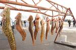 Several eelpout