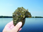 Zebra Mussels on clam