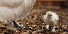 chicken-baby-chick-farm