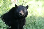 edited_black bear