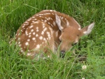flickr-fawn-baby-deer-white-tail