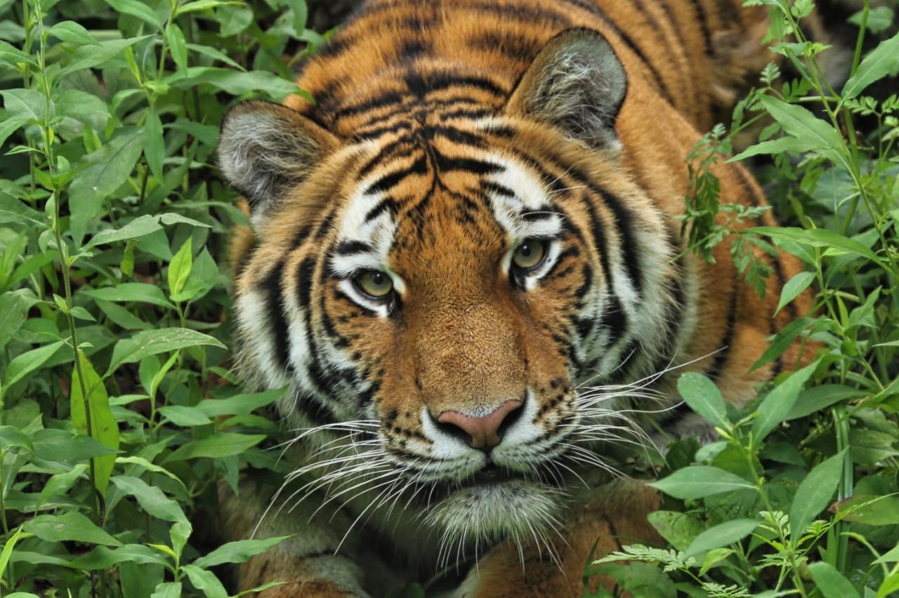 Amur tiger dies at Minnesota Zoo