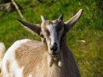 Flickr_goat