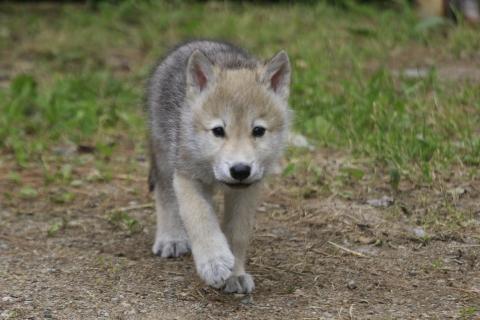 wolfpup1