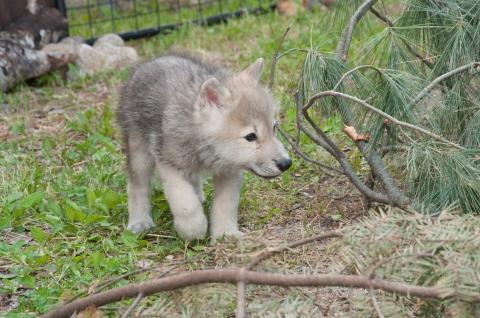 wolfpup2