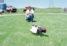 Dennis Hauth watches his 11-week-old pig, named The Saint, as he makes his first practice run with saddle bags on Hauth's farm near River Falls, Wis., June 15, 1993.  The part York-Hampshire pig has been hired to deliver baseballs to umpires when the St. Paul Saints of the new Class A Northern League plays its first home game Friday night.  Hauth's wife is making a tuxedo for the 40-pound pig, which is also supposed to roll out a barrel after each home game on weekends.  (AP Photo/Jim Mone)