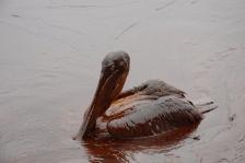 Oiled_Pelicans