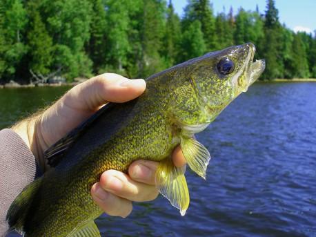 walleye caught in Ontario