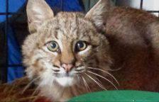 wild cat bobcat