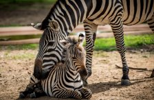 (Photo: Jackie Scherer Photography) http://www.comozooconservatory.org/news/como-zoos-baby-zebra-now-has-a-name/