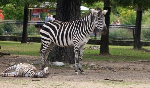 zebra-mom-and-babies_original